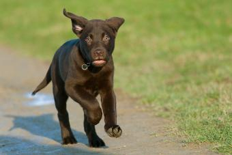 https://cf.ltkcdn.net/dogs/images/slide/238457-850x567-running-chocolate-lab-puppy.jpg