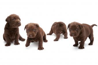https://cf.ltkcdn.net/dogs/images/slide/238459-850x566-group-of-chocolate-lab-puppies.jpg