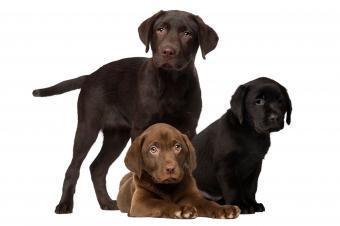 https://cf.ltkcdn.net/dogs/images/slide/238460-850x566-three-chocolate-lab-puppies.jpg