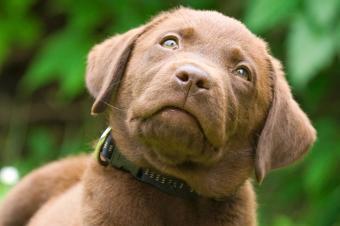 https://cf.ltkcdn.net/dogs/images/slide/238497-850x566-chocolate-lab-portrait.jpg