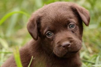 https://cf.ltkcdn.net/dogs/images/slide/238498-850x566-choc-lab-puppy.jpg