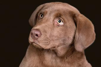 https://cf.ltkcdn.net/dogs/images/slide/238500-850x566-brown-chocolate-lab-pup.jpg
