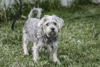 Chorkie standing on grass