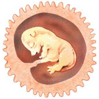 puppy fetus in womb day 28
