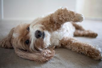 Tan and white Cockapoo laying down