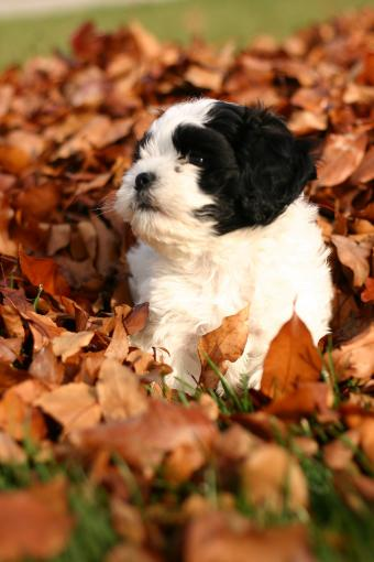 Black and white Cockapoo puppy