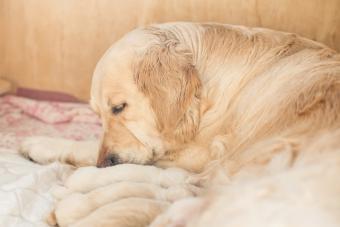 Dog Heat Cycle and Breeding