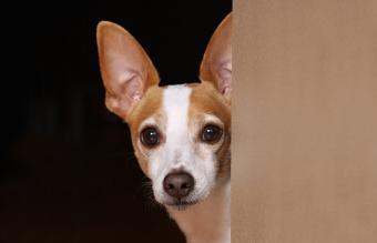 Rat Terrier Dog Pictures