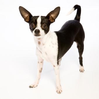 https://cf.ltkcdn.net/dogs/images/slide/238755-850x850-Ratty-7.jpg