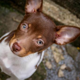 https://cf.ltkcdn.net/dogs/images/slide/238756-850x850-rat-terrier-puppies.jpg