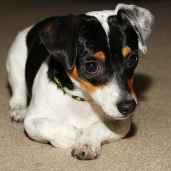 https://cf.ltkcdn.net/dogs/images/slide/238758-850x850-miniature-rat-terrier.jpg