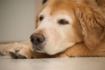Crusty Dog Nose