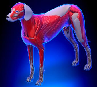 Muscle anatomy of a dog