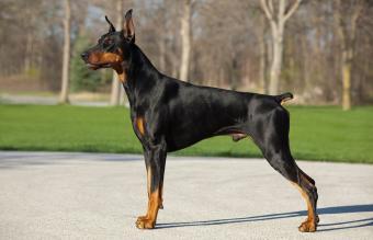 Giant Guard Dog Breeds