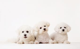List of Small Fluffy Dog Breeds