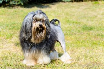 Löwchen dog