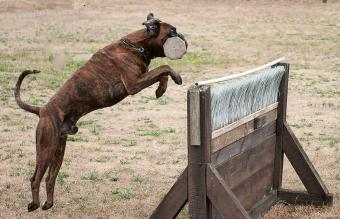 brindle boxer dog jumping over the hurdle