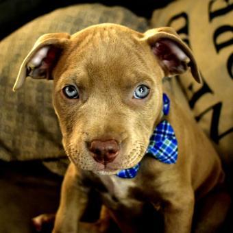 https://cf.ltkcdn.net/dogs/images/slide/243137-850x850-10-pit-bull-puppy-pictures.jpg