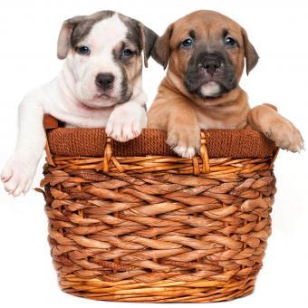 https://cf.ltkcdn.net/dogs/images/slide/243143-850x850-5-pit-bull-puppy-pictures.jpg