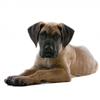 https://cf.ltkcdn.net/dogs/images/slide/243547-850x851-1-great-dane-puppy.jpg