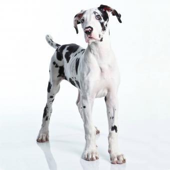 https://cf.ltkcdn.net/dogs/images/slide/243548-850x850-2-great-dane-puppy.jpg