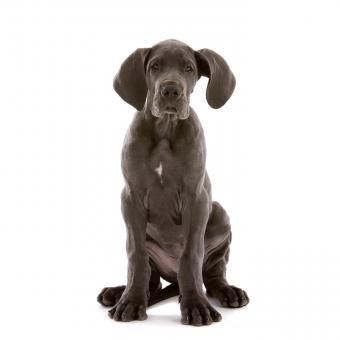 https://cf.ltkcdn.net/dogs/images/slide/243549-850x850-4-great-dane-puppy.jpg