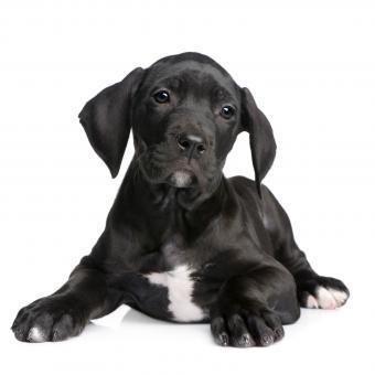https://cf.ltkcdn.net/dogs/images/slide/243554-850x850-9-great-dane-puppy.jpg