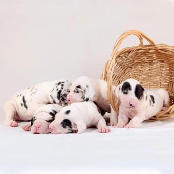 https://cf.ltkcdn.net/dogs/images/slide/243558-850x849-3-great-dane-puppy.jpg
