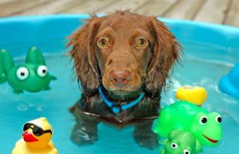 Dachshund puppy in pool