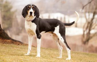 Treeing Walker Coonhound standing on hill