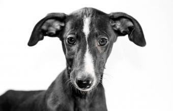 Portrait of Greyhound