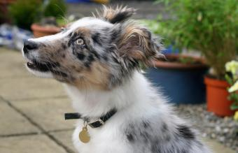 Blue merle and white collie pup