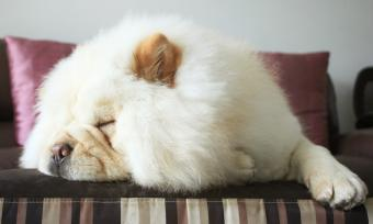 Chow Sleeping On Bed At Home