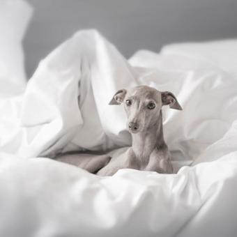 https://cf.ltkcdn.net/dogs/images/slide/244102-850x850-9-miniature-greyhound.jpg