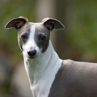https://cf.ltkcdn.net/dogs/images/slide/244106-850x850-1-miniature-greyhound.jpg