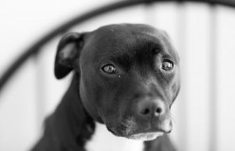 Staffordshire bull-terrier looking sad