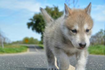 Training Hybrid Wolf Puppies