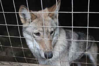 Wolf dog hybrid looking through fence