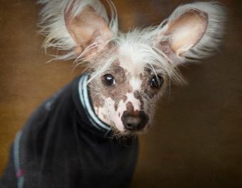 https://cf.ltkcdn.net/dogs/images/slide/244848-850x660-dipsi-dog-breed.jpg