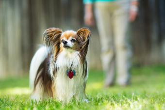 A papillon breed dog stands proudly on a green lawn