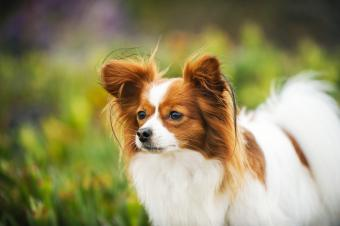 Papillon dog in a field looking away