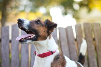 https://cf.ltkcdn.net/dogs/images/slide/245545-850x565-fox-terrier-red-collar.jpg