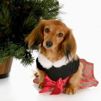 https://cf.ltkcdn.net/dogs/images/slide/245718-850x850-10-christmas-dog-pictures.jpg