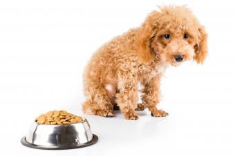 Poodle looking at bowl of food