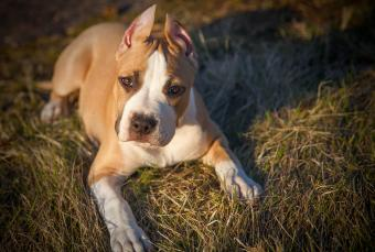 Pit Bull Terrier Puppy in nature