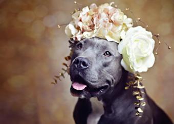 Pit Bull in Flower Crown