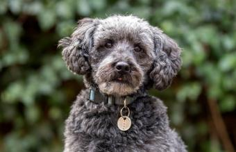 Guide to the Schnoodle Dog Breed