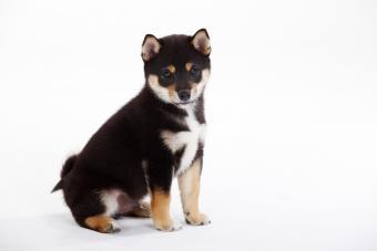 Portrait of Shiba Inu puppy