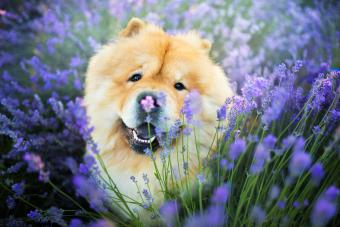 Chow Chow dog in lavender field