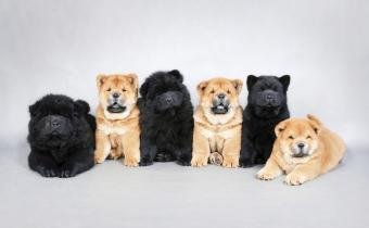 Six chow chow puppies